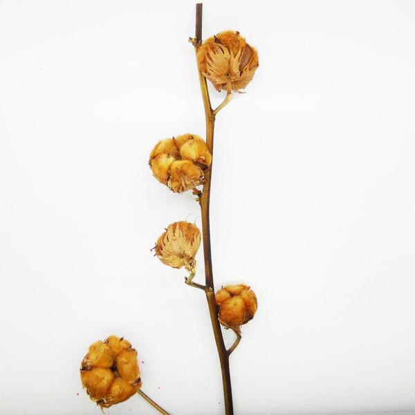 Fleur s ch e branche de coton brun 4 5 fleurs mat riel - Branche de coton ...