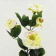 Rose branchue 4 fleurs Blanc vert
