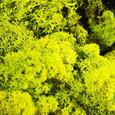 Mousse lichen d'islande Vert Printemps