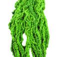 Amaranthe Caudatus Vert Printemps stabilisée