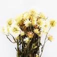 Hélichrysum séché Blanc botte