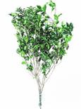 Pittosporum stabilisé vert