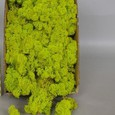 Mousse lichen d'islande Vert Printemps Grand Format