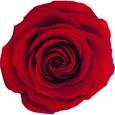 Rose stabilisée Verdissimo couleur Rouge par 6 pièces