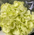 Hortensia stabilisé coloris Vert Pistache