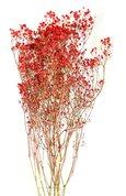 Gypsophile naturel rouge séché