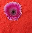 Flocon de poudre OASIS coloris ROUGE