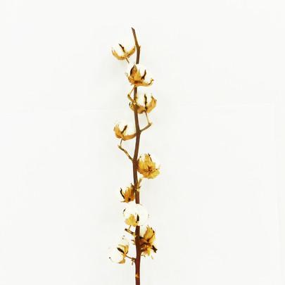 Branche de coton 6 fleurs environ