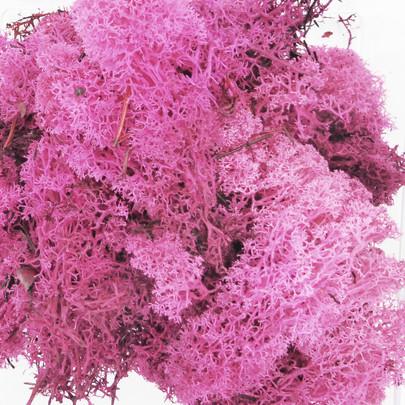 Mousse lichen d'islande Rose Fuchsia