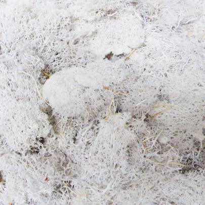 Mousse lichen d'Islande couleur Blanche