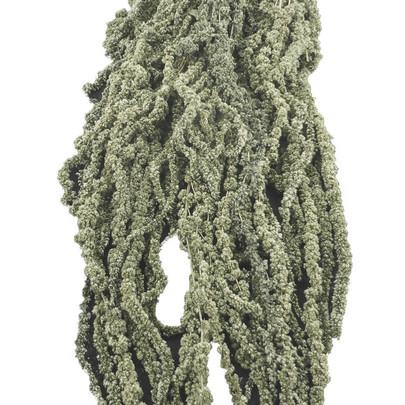 Amaranthe Caudatus Vert Olive stabilisée