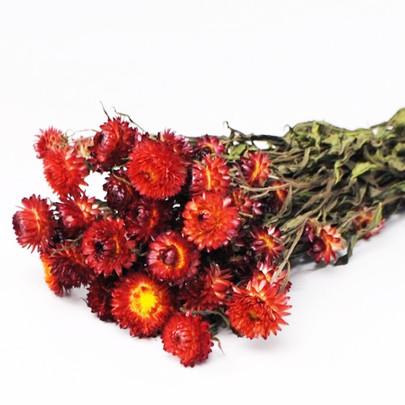 Hélichrysum séché Orange botte