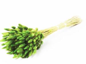 Lagurus Ovatus botte coloris Vert