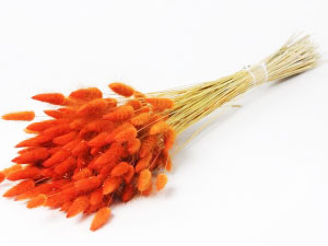 Lagurus Ovatus botte coloris Orange