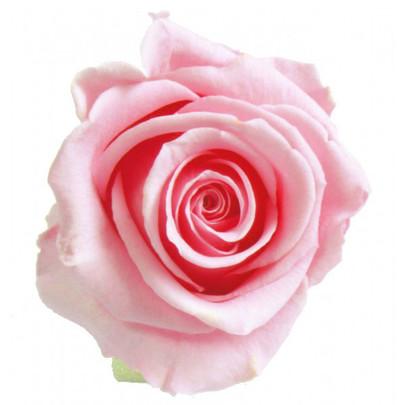 Rose stabilisée Verdissimo couleur Rose par 1 pièce.