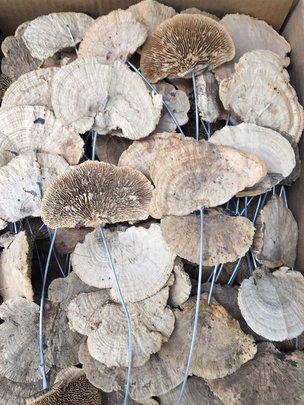 Champignon Naturel sur Tige x10