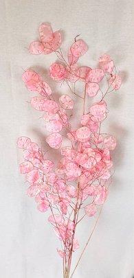 Monnaie du Pape Naturel Rose Transparente (Lunaria )