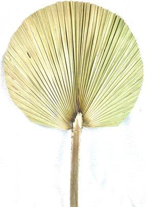 Grande feuille de palm naturelle séchée x1