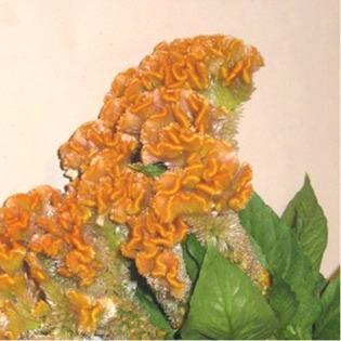 Celosie crete de coq orange