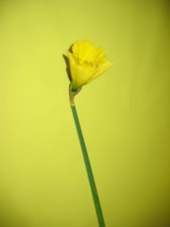 Narcisse jaune 1