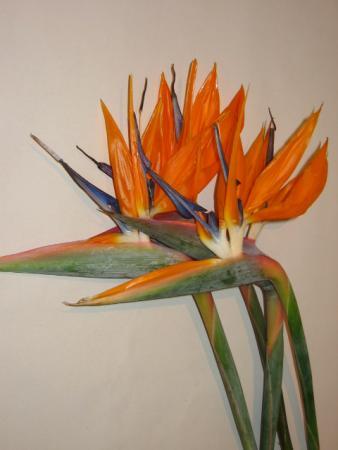 strelitzia oiseau du paradis mat riel d 39 art floral et conseils pour la d coration florale. Black Bedroom Furniture Sets. Home Design Ideas